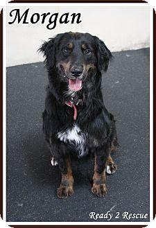 Gordon Setter Mix Dog for adoption in Rockwall, Texas - Morgan
