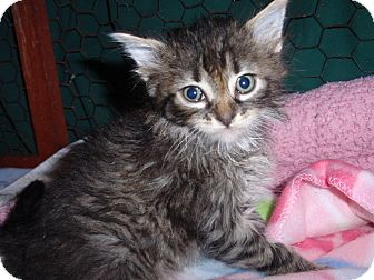 Maine Coon Kitten for adoption in East Brunswick, New Jersey - Big Boy