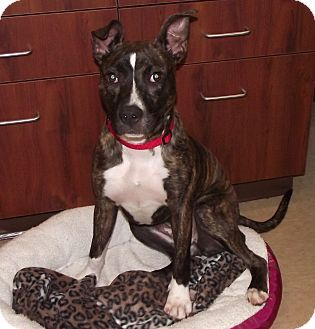 American Pit Bull Terrier Mix Dog for adoption in Chambersburg, Pennsylvania - Korin