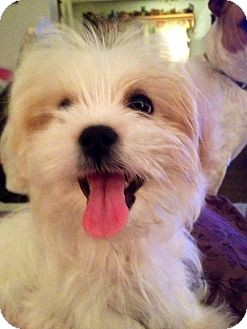 Maltese Mix Puppy for adoption in ST LOUIS, Missouri - KRACKERS