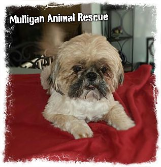 Shih Tzu/Maltese Mix Dog for adoption in Mount Royal, New Jersey - TOBY (adoption pending)