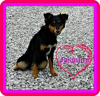 English Shepherd Dog for adoption in Lawrenceburg, Tennessee - Jasmine