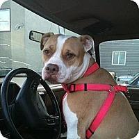 Adopt A Pet :: Bourre - Wasilla, AK