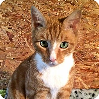 Domestic Shorthair Cat for adoption in Victor, New York - Pumpkin