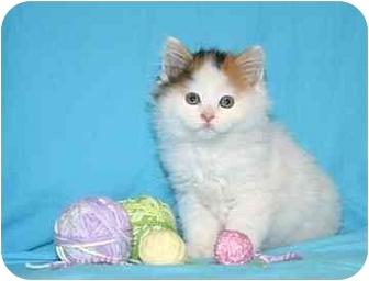 Calico Kitten for adoption in Ladysmith, Wisconsin - Gretchen