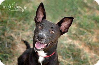Labrador Retriever Mix Dog for adoption in Pilot Point, Texas - NADIA
