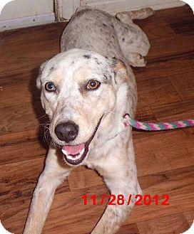Australian Cattle Dog Dog for adoption in Lavon, Texas - Annabelle
