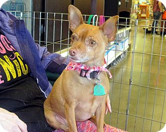 Chihuahua/Miniature Pinscher Mix Dog for adoption in Overland Park, Kansas - Lily