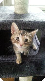 Domestic Shorthair Kitten for adoption in Warren, Michigan - Autumn