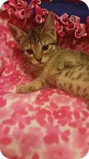 Domestic Shorthair Kitten for adoption in Rockford, Illinois - Kona