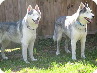 Siberian Husky Dog for adoption in Jacksonville, Florida - DENALI and KENAI