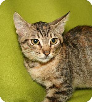 Domestic Shorthair Kitten for adoption in Bradenton, Florida - Queen of Hearts