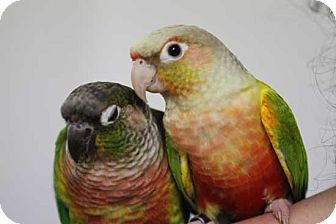 Conure for adoption in Vancouver, Washington - Kiwi Mango2Green Chek Conures