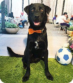 Labrador Retriever Mix Dog for adoption in Castro Valley, California - Lesta