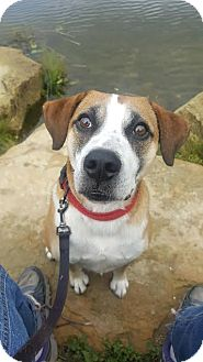Boxer/Hound (Unknown Type) Mix Dog for adoption in Cuyahoga Falls, Ohio - Harold