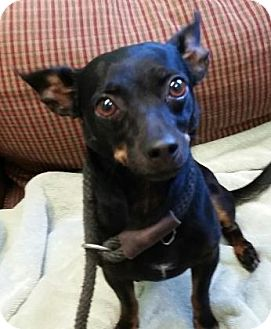 Chihuahua/Mixed Breed (Small) Mix Dog for adoption in Leander, Texas - Elf