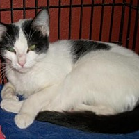 Domestic Shorthair Cat for adoption in Lacon, Illinois - Evette