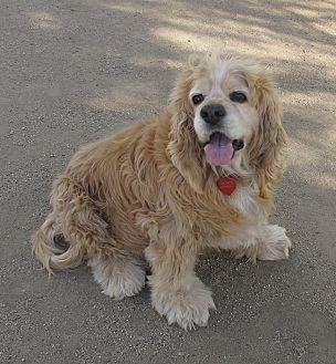 Cocker Spaniel Dog for adoption in Toluca Lake, California - STEVIE