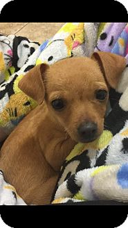 Chihuahua Mix Puppy for adoption in Seattle, Washington - Lilly