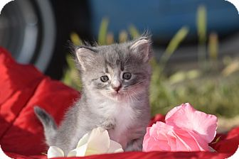 Domestic Mediumhair Kitten for adoption in Rosamond, California - Lyra
