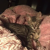 Domestic Shorthair/Domestic Shorthair Mix Kitten for adoption in Bulverde, Texas - Grayson 4