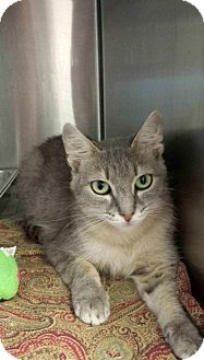 Domestic Shorthair Cat for adoption in Bridgewater, New Jersey - Zinnia