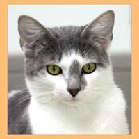 Domestic Shorthair/Domestic Shorthair Mix Cat for adoption in Batavia, Ohio - Arbee