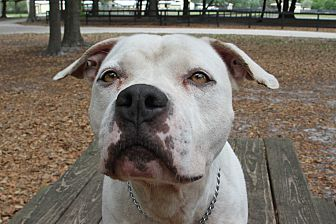 Pit Bull Terrier Mix Dog for adoption in Odessa, Florida - Puck