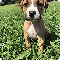Pit Bull Terrier Mix Puppy for adoption in Durham, North Carolina - Kam
