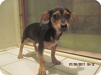 Chihuahua/Terrier (Unknown Type, Small) Mix Puppy for adoption in La Mesa, California - CASHMERE
