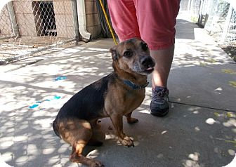 German Shepherd Dog/Hound (Unknown Type) Mix Dog for adoption in Copperas Cove, Texas - Thunder