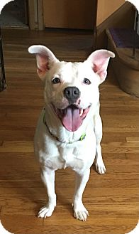 French Bulldog/Pit Bull Terrier Mix Dog for adoption in Beachwood, Ohio - Lily
