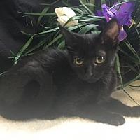 Adopt A Pet :: Shadow - Fayetteville, GA