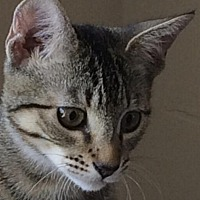 Adopt A Pet :: Whitney - Auburn, CA