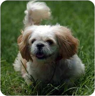 Shih Tzu Dog for adoption in Coral Springs, Florida - Linus