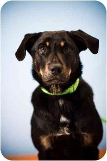 Shepherd (Unknown Type)/Labrador Retriever Mix Puppy for adoption in Portland, Oregon - Maverick