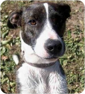 Whippet/Basenji Mix Puppy for adoption in Sacramento, California - Lily Mae