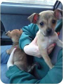 Chihuahua/Yorkie, Yorkshire Terrier Mix Puppy for adoption in Carrollton, Georgia - Scamper