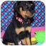 Photo 2 - Rottweiler Mix Puppy for adoption in Broomfield, Colorado - Tinkerbell