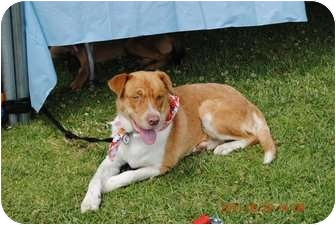 Australian Shepherd Mix Puppy for adoption in Glendale, California - Buddy