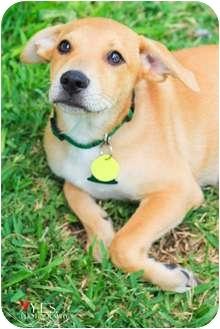 Labrador Retriever Mix Puppy for adoption in Austin, Texas - Milo