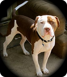 American Pit Bull Terrier Dog for adoption in Cypress, California - Parker
