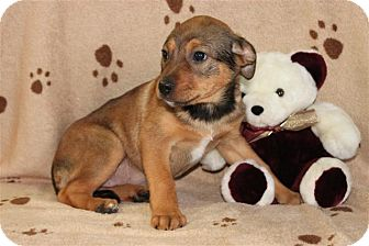 German Shepherd Dog/Pit Bull Terrier Mix Puppy for adoption in Salem, New Hampshire - Five