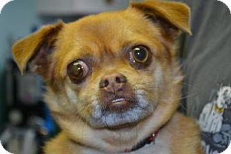 Pug Mix Dog for adoption in Edwardsville, Illinois - Rufus