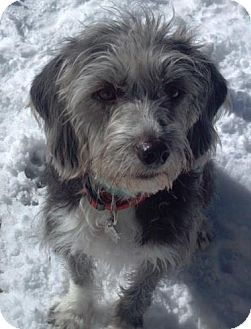 Terrier (Unknown Type, Small)/Dachshund Mix Dog for adoption in North Olmsted, Ohio - Dudley-Courtesy Post