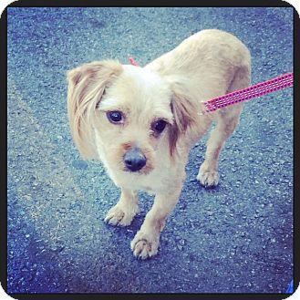 Maltese Mix Dog for adoption in Las Vegas, Nevada - Charlie Bear