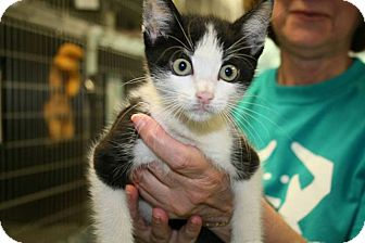 Domestic Shorthair Kitten for adoption in Jackson, New Jersey - Swiper