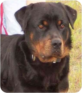 Rottweiler Mix Dog for adoption in Winfield, Kansas - Boomer
