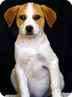 Australian Cattle Dog Mix Puppy for adoption in Newland, North Carolina - Tapioca