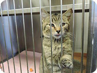 Domestic Shorthair Kitten for adoption in Fremont, Nebraska - Fischer